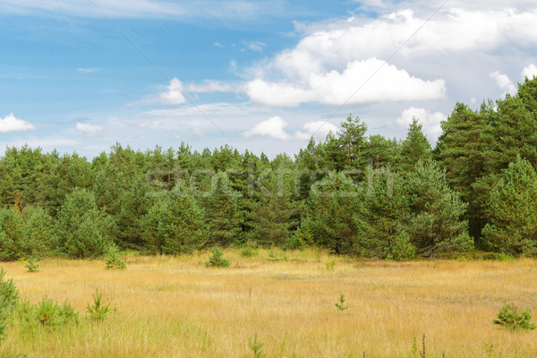 summer spruce forest and field Stock photo © dolgachov