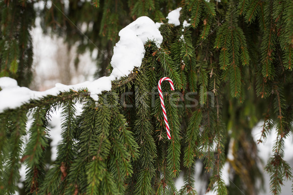 candy cane christmas toy on fir tree branch Stock photo © dolgachov