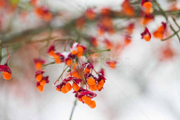 spindle or euonymus branch with fruits in winter Stock photo © dolgachov