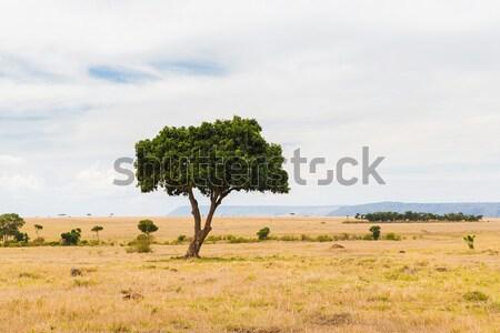 acacia tree in savannah at africa Stock photo © dolgachov