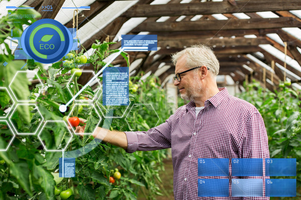 senior man growing tomatoes at farm greenhouse Stock photo © dolgachov