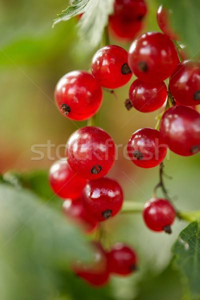 Kırmızı frenk üzümü çalı yaz bahçe şube Stok fotoğraf © dolgachov