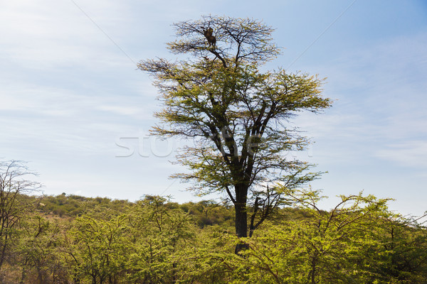 leopard on top of tree in savannah at africa Stock photo © dolgachov