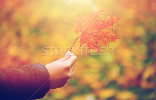 close up of woman hands with autumn maple leaves Stock photo © dolgachov