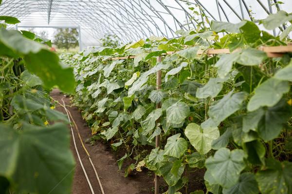 Komkommer zaailingen groeiend broeikas plantaardige tuinieren Stockfoto © dolgachov