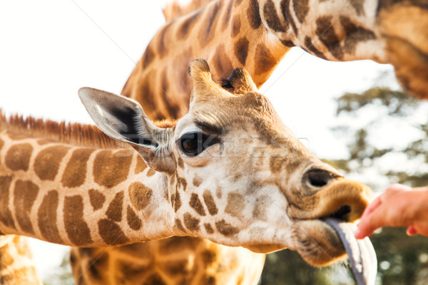 El zürafa Afrika hayvan doğa Stok fotoğraf © dolgachov