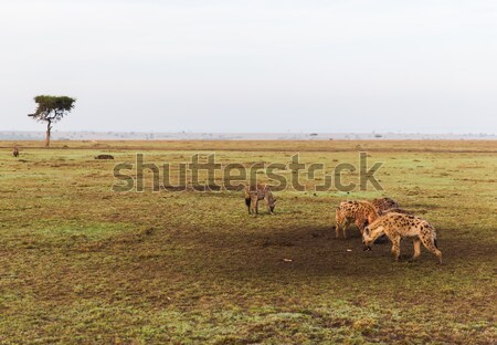 clan of hyenas in savannah at africa Stock photo © dolgachov