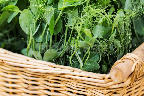 Közelkép bab palánta fonott kosár kertészkedés Stock fotó © dolgachov