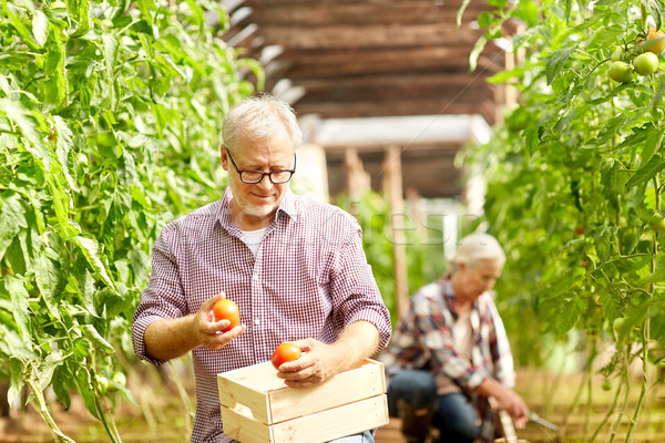 old man picking tomatoes up at farm greenhouse Stock photo © dolgachov