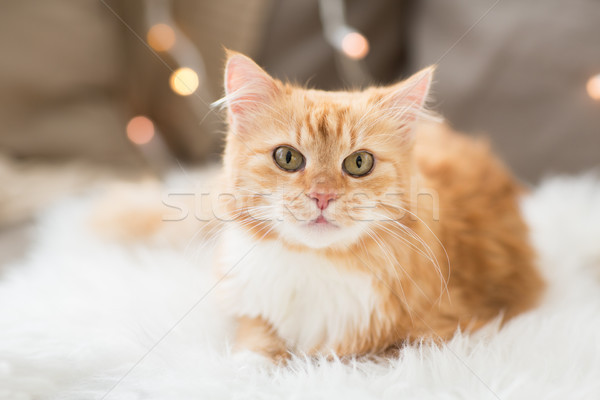 red tabby cat on sofa with sheepskin at home Stock photo © dolgachov