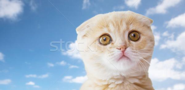 close up of scottish fold kitten over blue sky Stock photo © dolgachov
