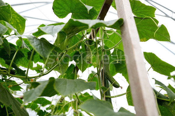 close up of cucumber growing at greenhouse Stock photo © dolgachov