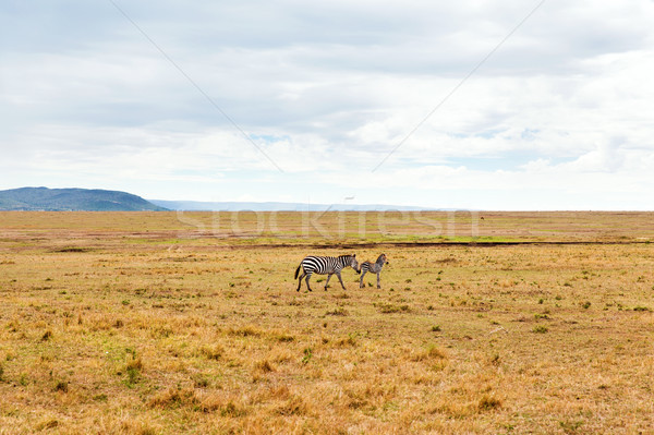 zebras grazing in savannah at africa Stock photo © dolgachov