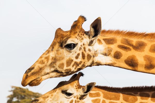 giraffes in africa Stock photo © dolgachov