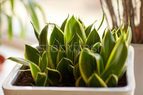 beautiful exotic sansevieria in flower pot indoors Stock photo © dolgachov