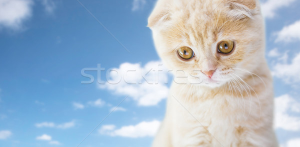 Stock photo: close up of scottish fold kitten