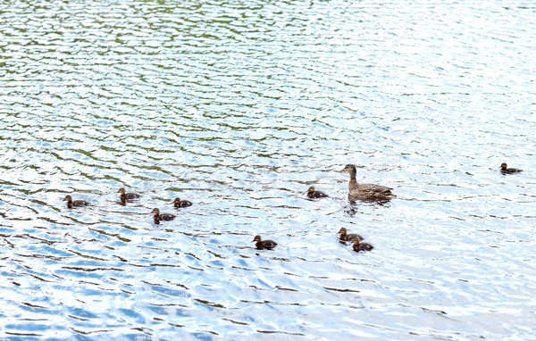 duck with ducklings swimming in lake or river Stock photo © dolgachov