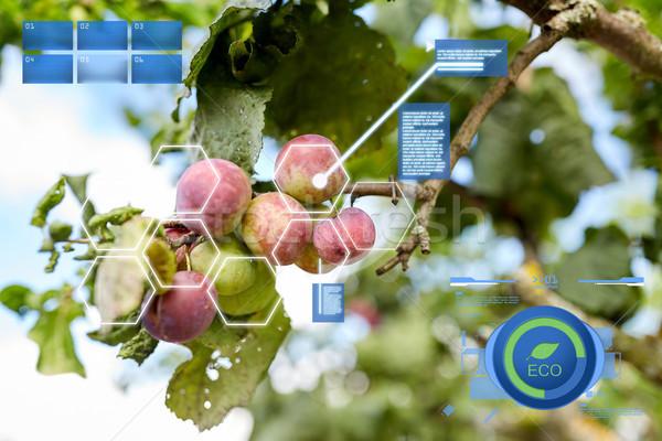 Erik organik bahçıvanlık Stok fotoğraf © dolgachov