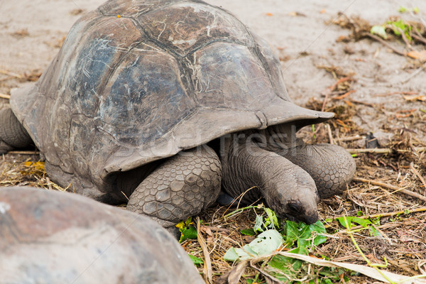 giant tortoises outdoors on seychelles Stock photo © dolgachov