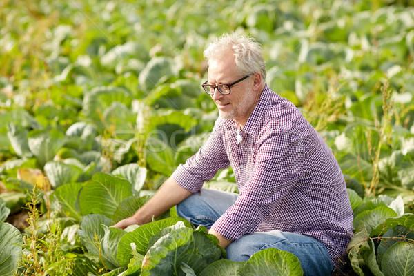 старший человека растущий белый капуста фермы Сток-фото © dolgachov