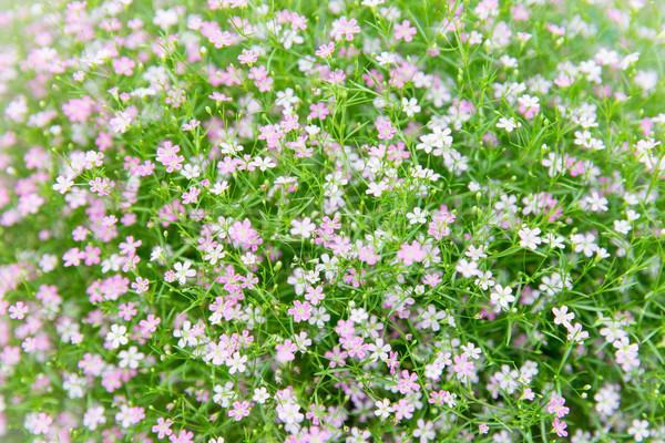 ストックフォト: 美しい · フィールド · テクスチャ · ガーデニング · 植物学
