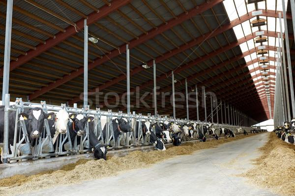 Vacas comer heno lácteo granja Foto stock © dolgachov