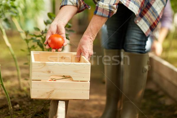 Senior donna pomodori farm serra Foto d'archivio © dolgachov