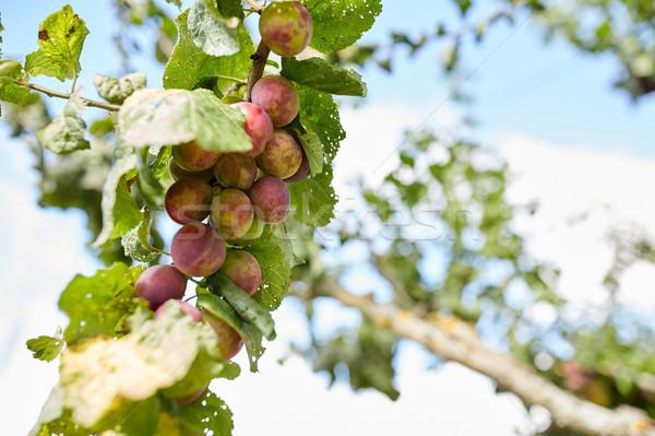 梅 自然 植物学 ガーデニング ストックフォト © dolgachov