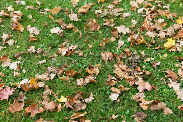 close up of fallen maple leaves on grass Stock photo © dolgachov