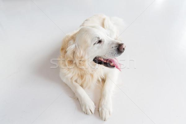 Golden retriever chien étage médecine animaux de compagnie Photo stock © dolgachov