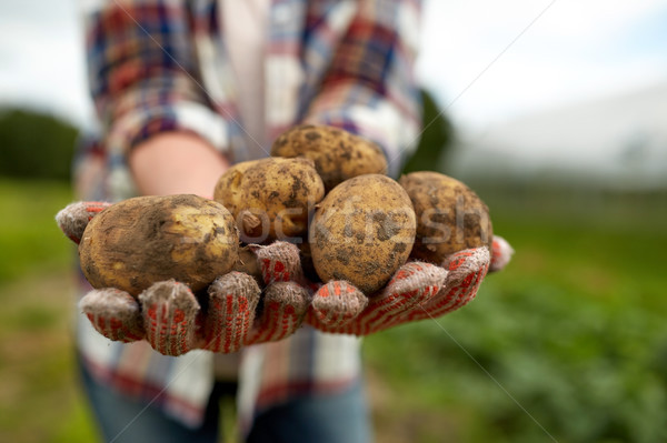 farmer hands holding potatoes at farm Stock photo © dolgachov