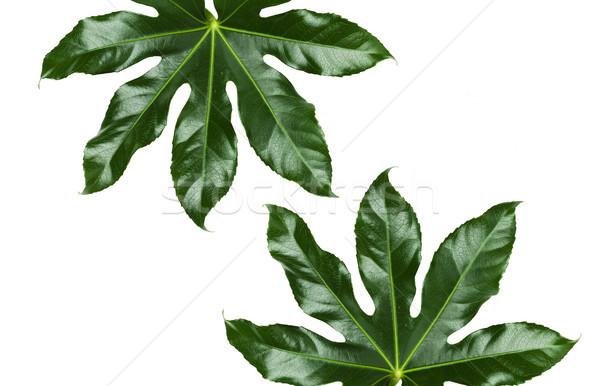 green leaves on white background Stock photo © dolgachov