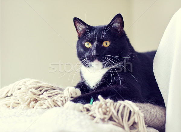 black and white cat lying on plaid at home Stock photo © dolgachov