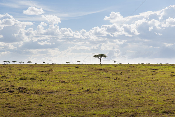 landscape with acacia trees in savannah at africa Stock photo © dolgachov