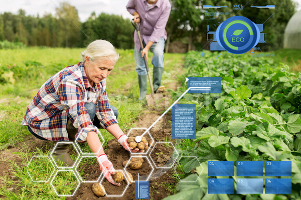 senior couple planting potatoes at garden or farm Stock photo © dolgachov