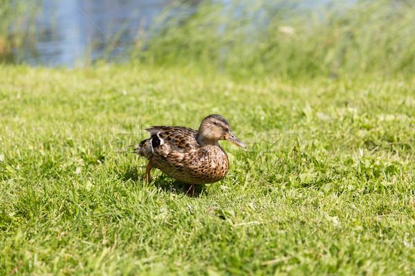 Pato caminhada verde verão prado natureza Foto stock © dolgachov