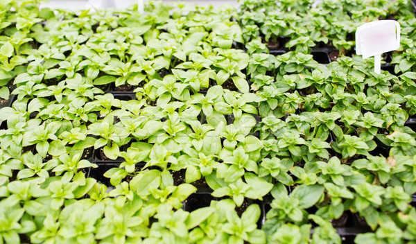 close up of seedlings in farm greenhouse Stock photo © dolgachov