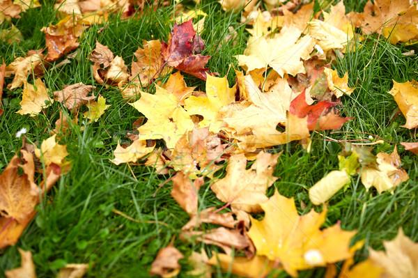 fallen autumn maple leaves on green grass Stock photo © dolgachov