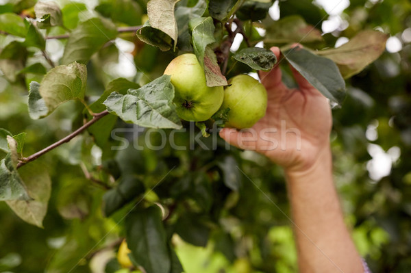 hand with apples growing at summer garden Stock photo © dolgachov