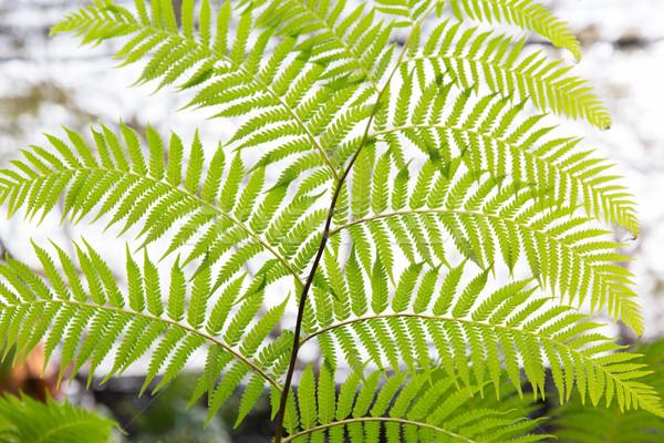 green fern frond Stock photo © dolgachov