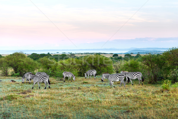 herd of zebras grazing in savannah at africa Stock photo © dolgachov