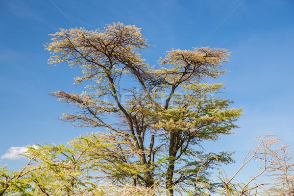 Alberi savana africa natura ambiente fauna selvatica Foto d'archivio © dolgachov