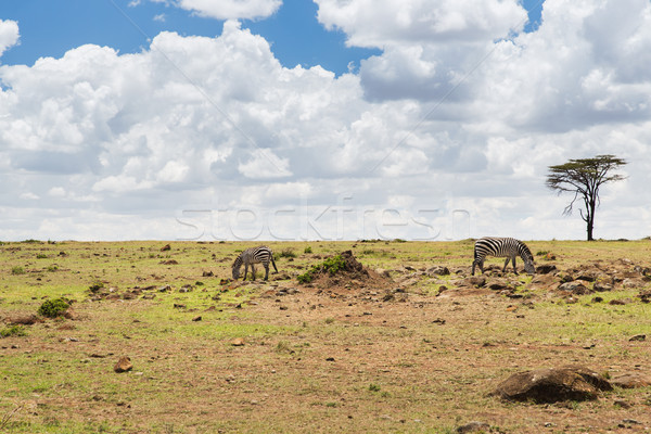 herd of zebras grazing in savannah at africa Stock photo © dolgachov