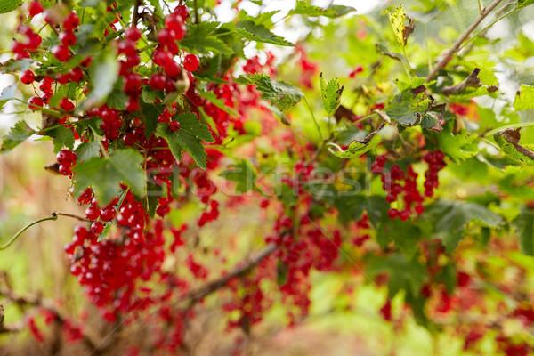 Piros ribiszke bokor nyár kert természet Stock fotó © dolgachov