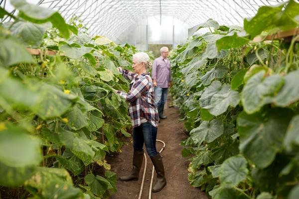 happy senior couple working at farm greenhouse Stock photo © dolgachov