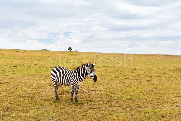 Zèbre savane Afrique animaux nature faune Photo stock © dolgachov