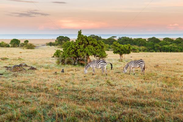 Troupeau zèbres savane Afrique animaux nature Photo stock © dolgachov