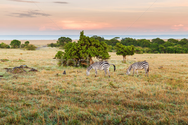 Rebanho zebras savana África animal natureza Foto stock © dolgachov
