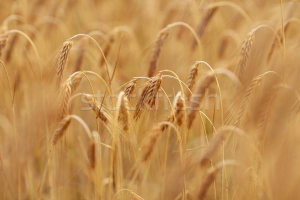 穀物 フィールド ライ麦 小麦 自然 ストックフォト © dolgachov