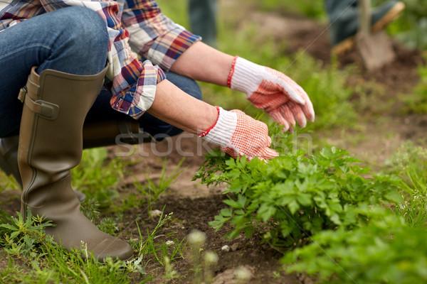 Altos mujer de trabajo jardín verano granja Foto stock © dolgachov